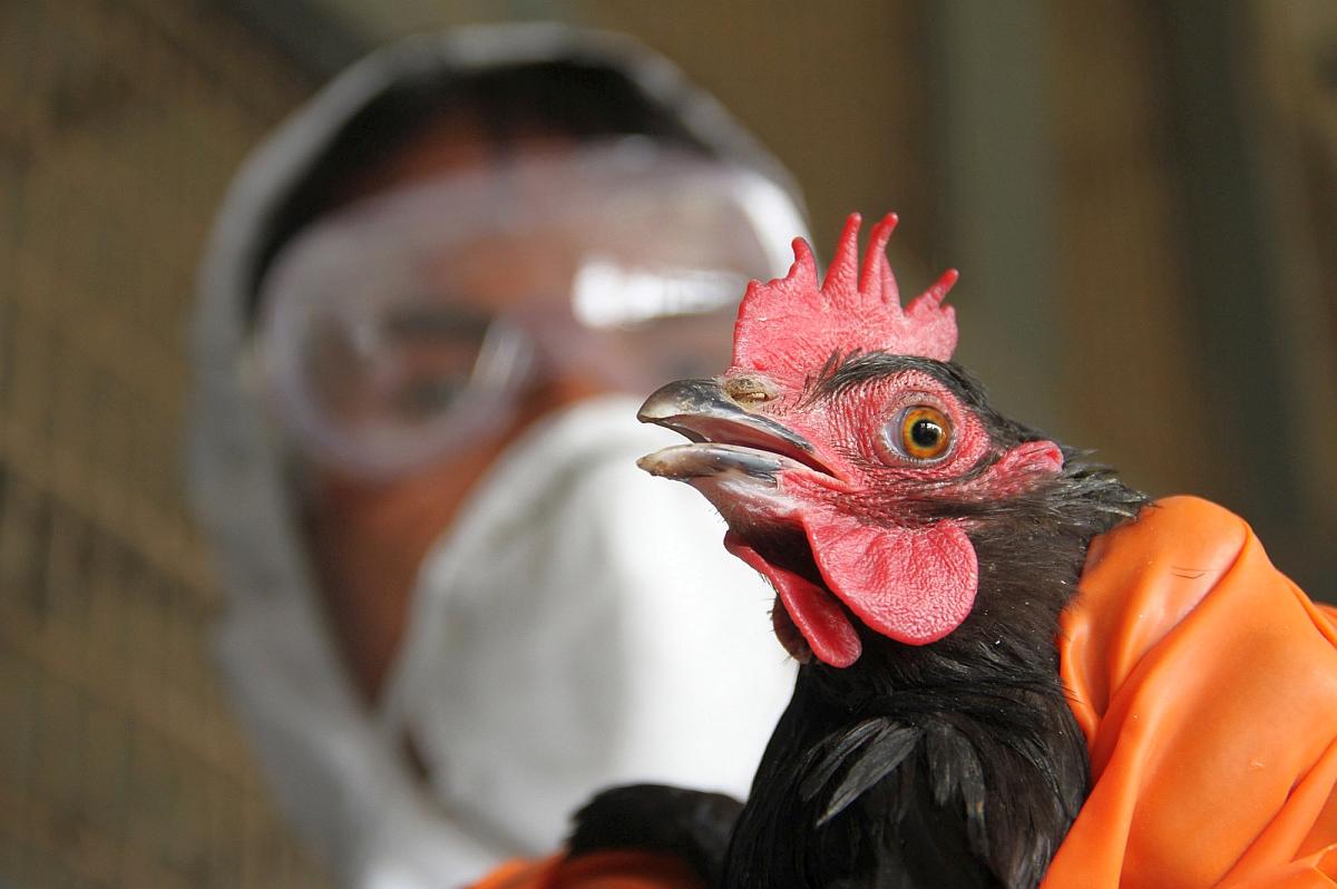 تفاصيل مرض إنفلونزا الطيور المنتشر ومرض العصر